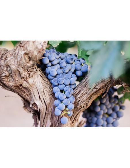 Découvrez les nombreux ceps de vigne