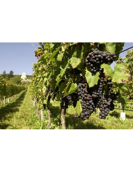 Pied de vigne avec raisin à maturité !